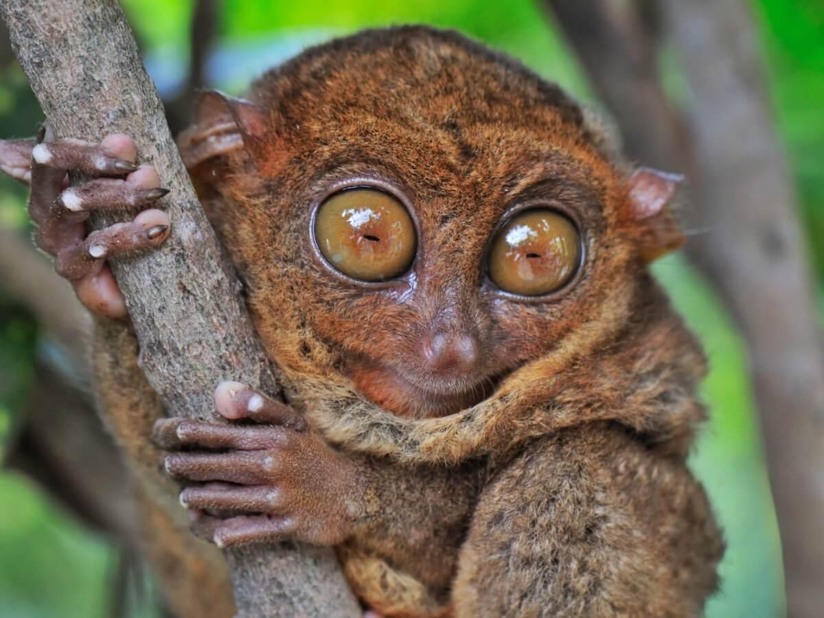 A full body tarsier.