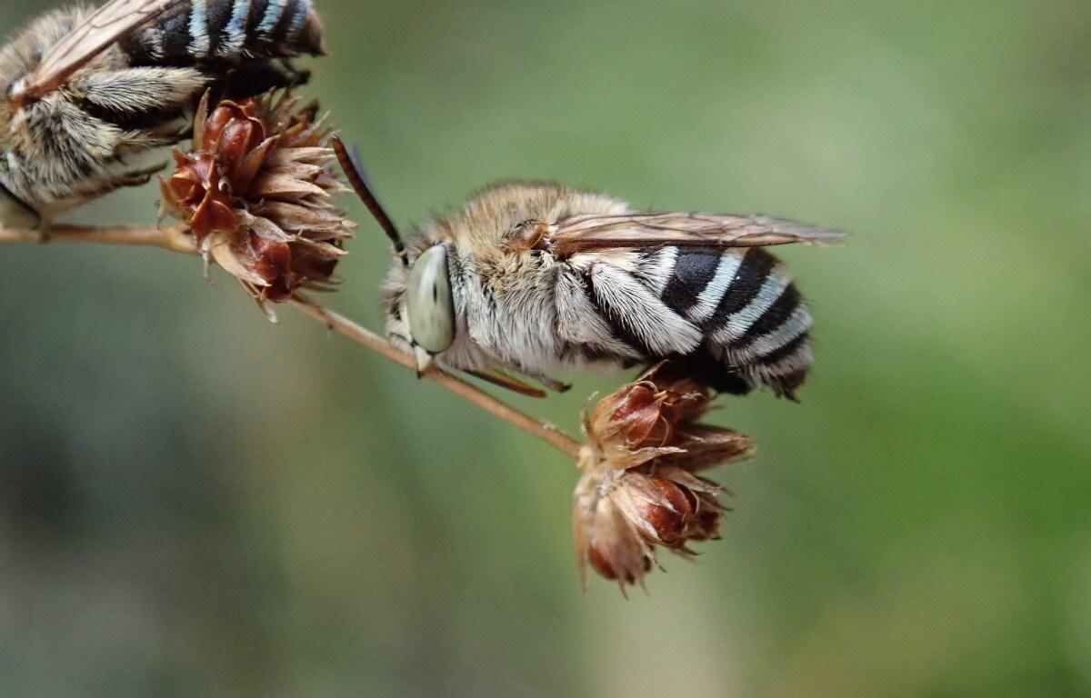 Un tipo di ape australiana.