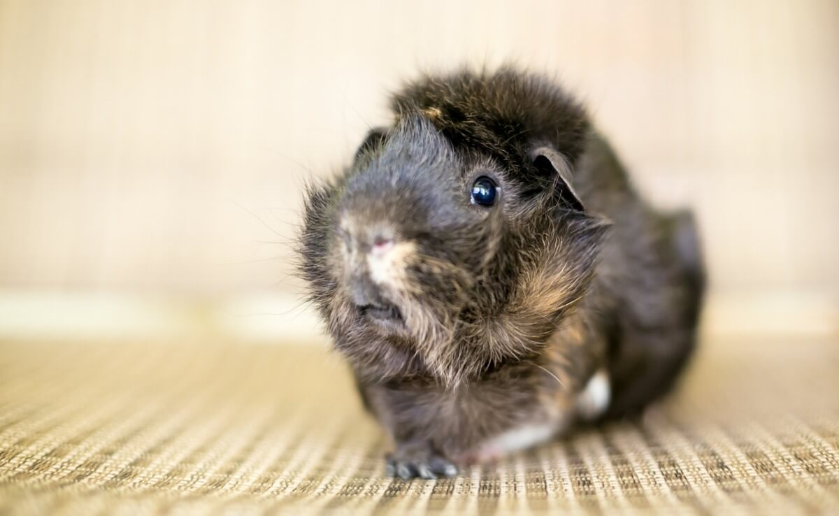 One of the types of guinea pigs.