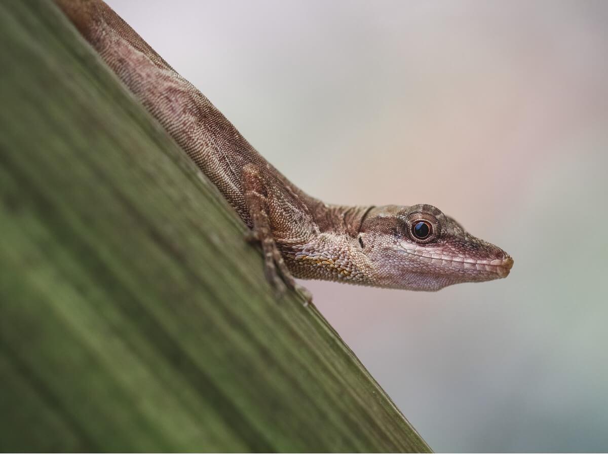 Un petit anole pygmée.