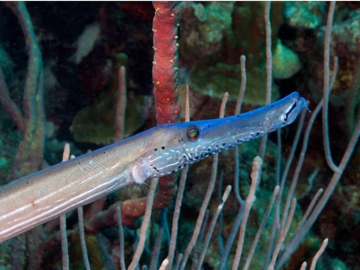 Particolare della zona cefalica di un pesce trombetta.