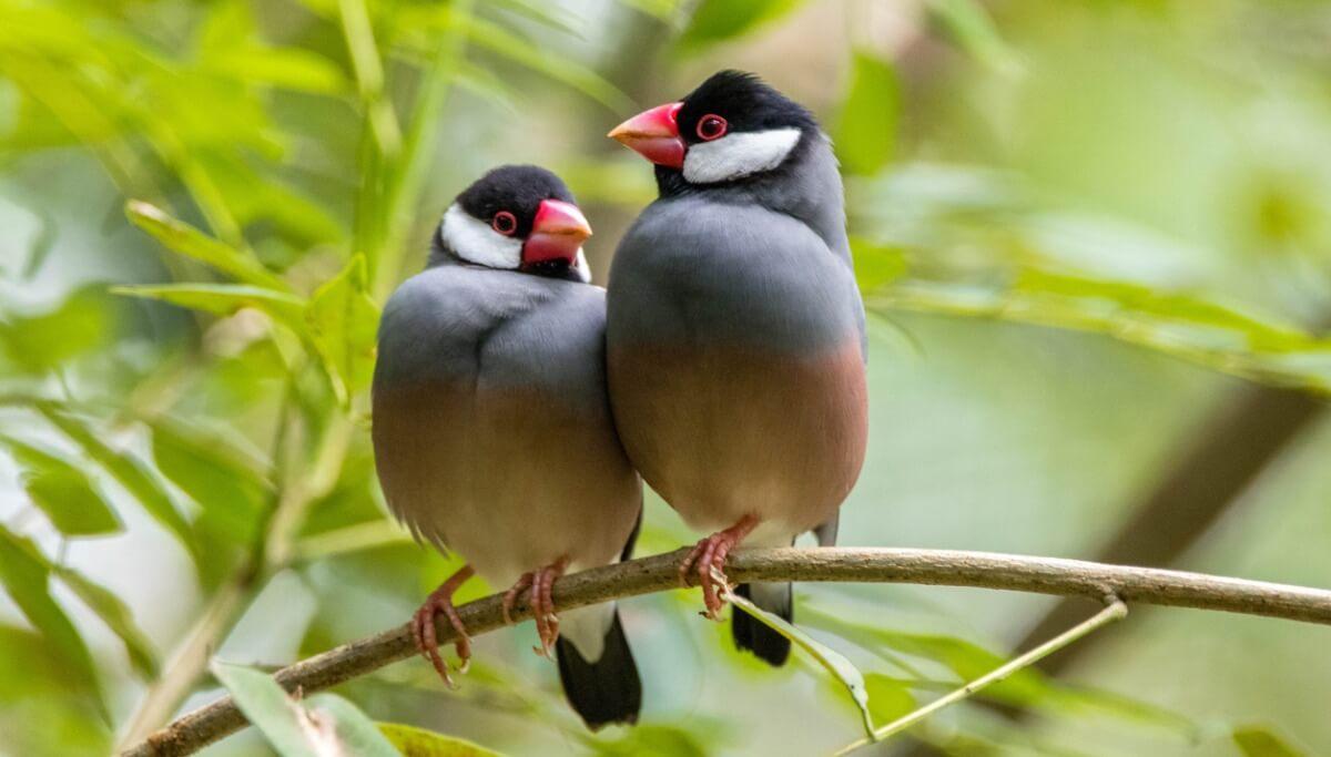 Uno de los pájaros domésticos en peligro de extinción.