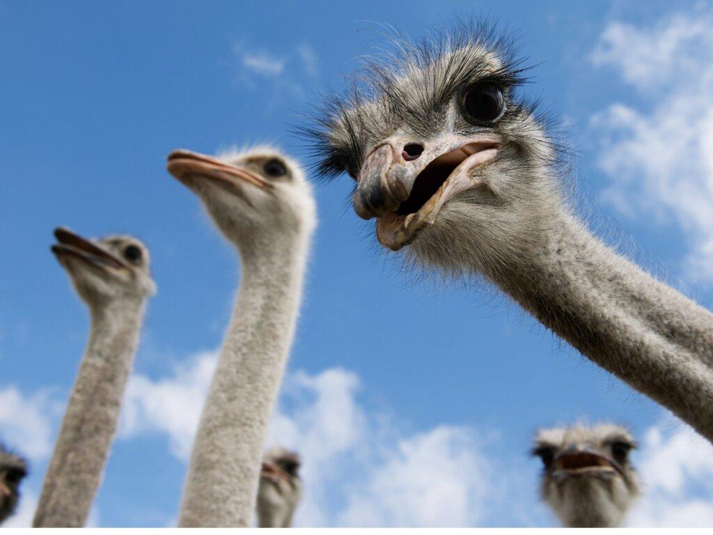 Comportamiento del avestruz