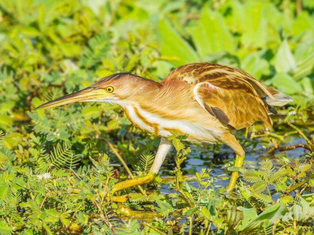 Avetorillo común: hábitat y características