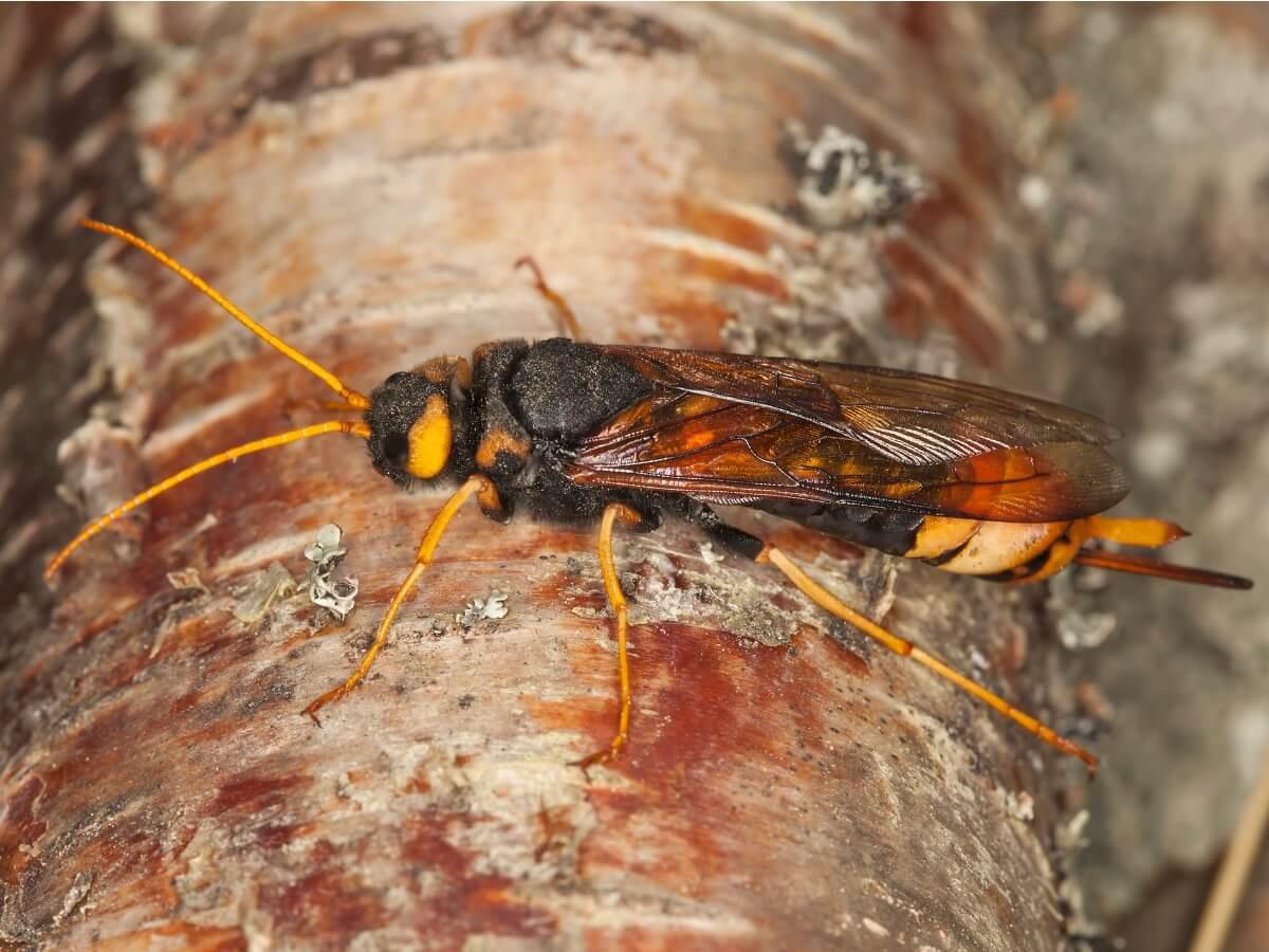 Altri insetti che mangiano il legno.