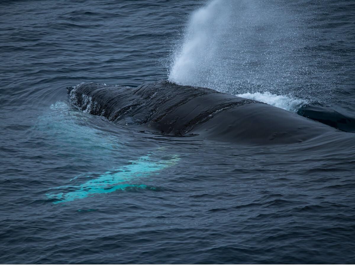Savez-vous comment les baleines respirent ?