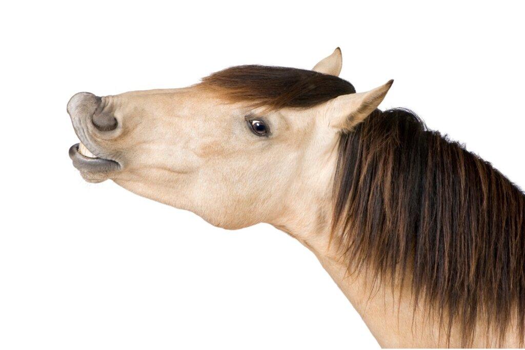 ¿Por qué relinchan los caballos?