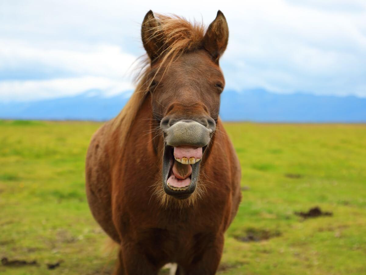 Un caballo relinchando de forma sonriente.