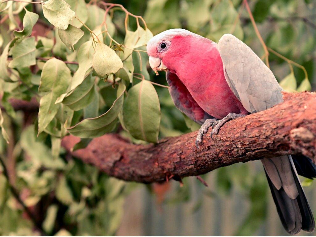 Cacatúa rosada: hábitat y características