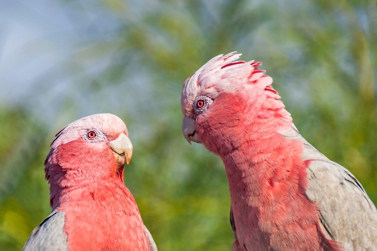 Une paire de cacatoès rosalbins.