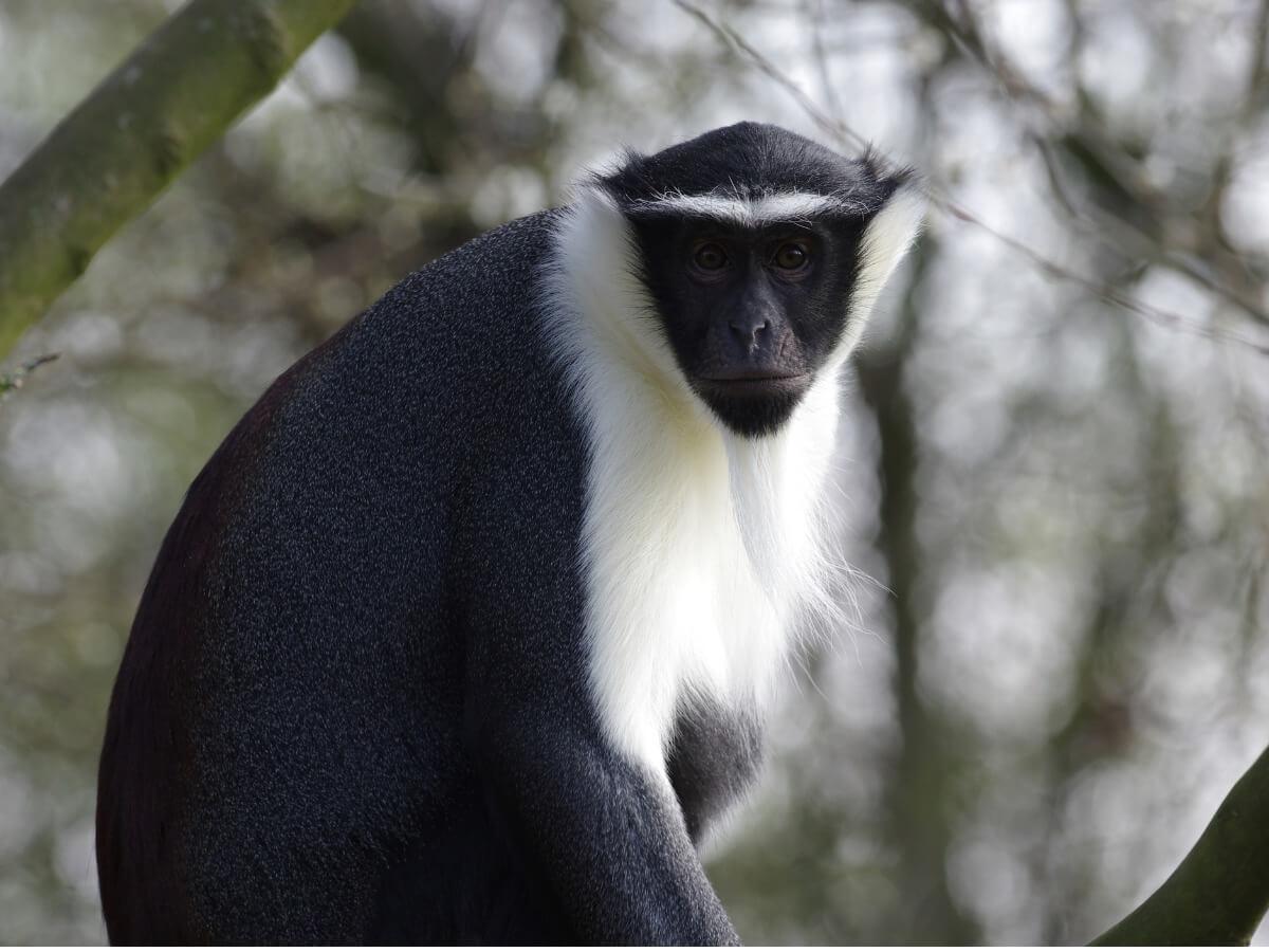 Eine der extrem vom Aussterben bedrohten Primatenarten - Cercopithecus roloway
