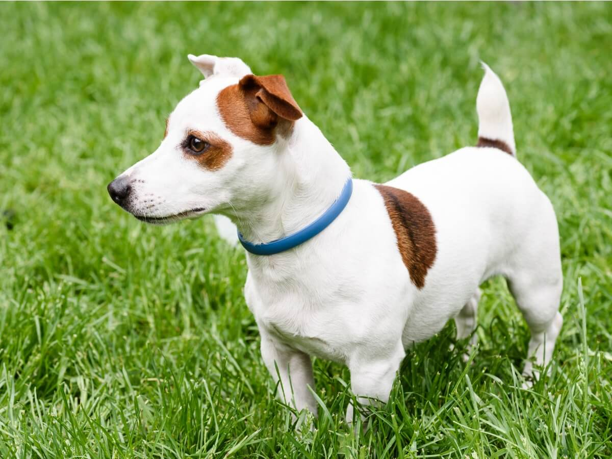 Un collar antiparasitario para perros.