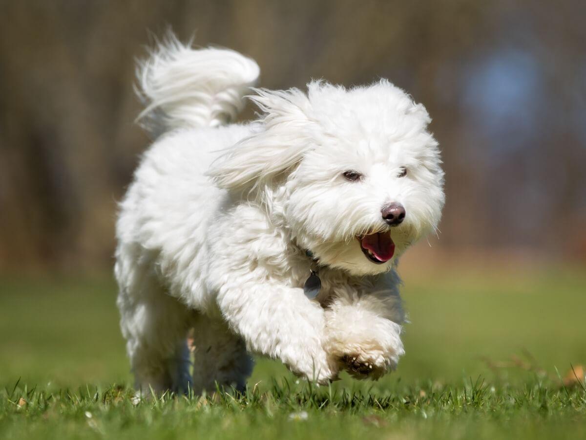 Un perro de tipo bichón.