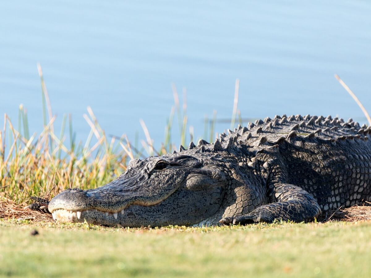 A specimen of an American alligator.