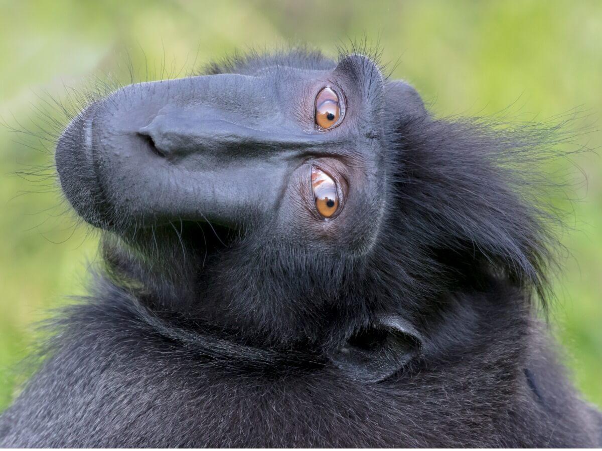 Die vom Aussterben bedrohten Primaten -Macacca nigra schaut in die Kamera.
