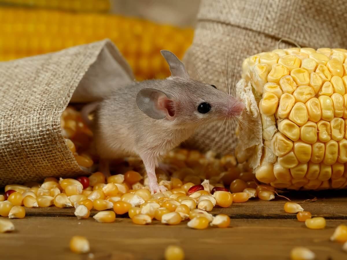 Conosci le differenze tra ratto e topo?