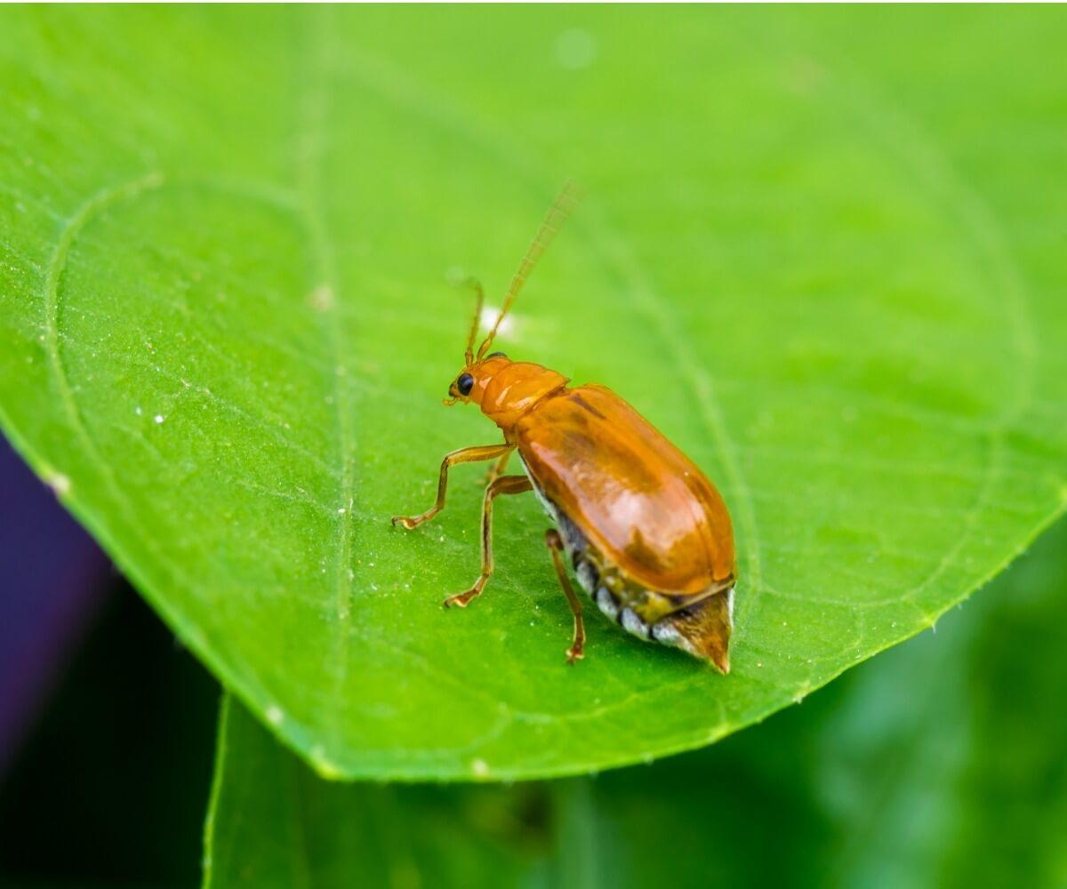 Un scarabée bombardier.