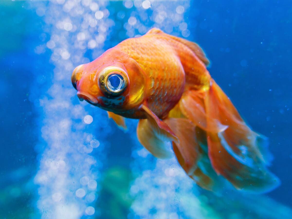 Un exemple d'exophtalmie chez les poissons.