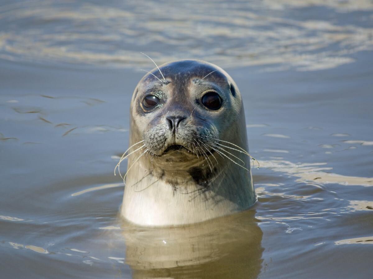 Hay muchas especies de focas en peligro de extinción.
