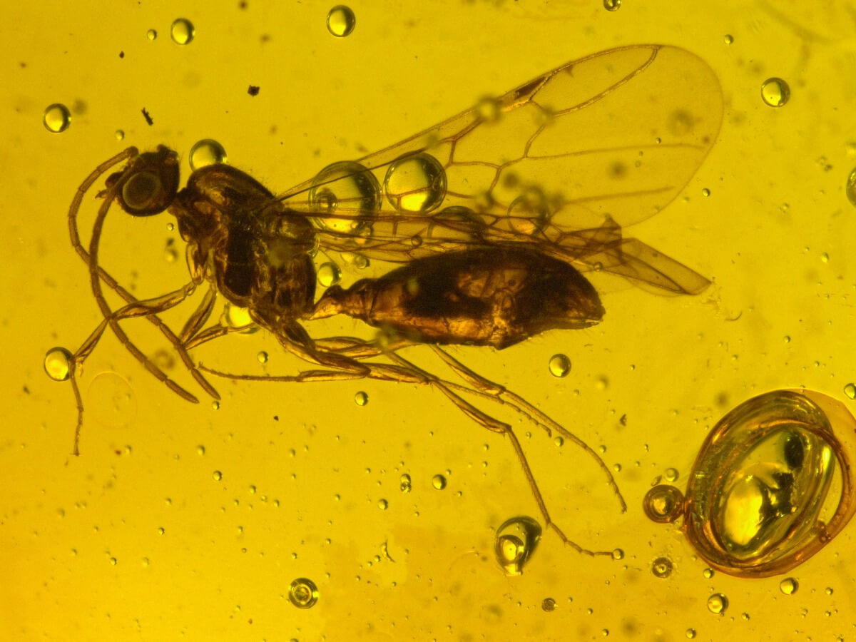 An ancient hymenopteran preserved in amber.