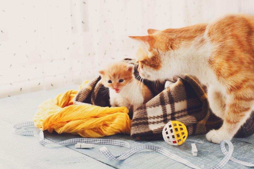 Después de parir, ¿cuándo entra en celo una gata?