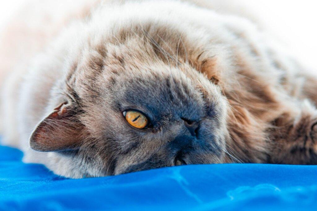Gato británico de pelo largo: origen y características