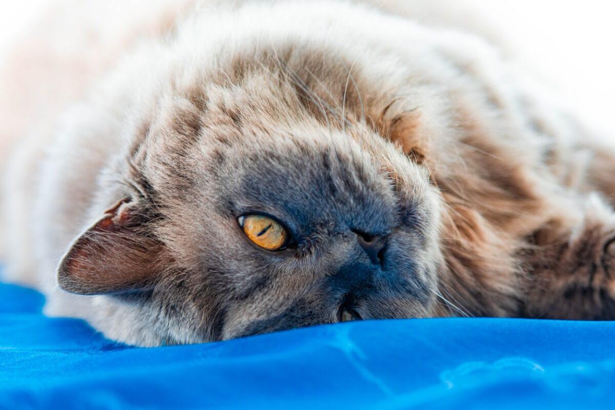 Un chat à poil long.