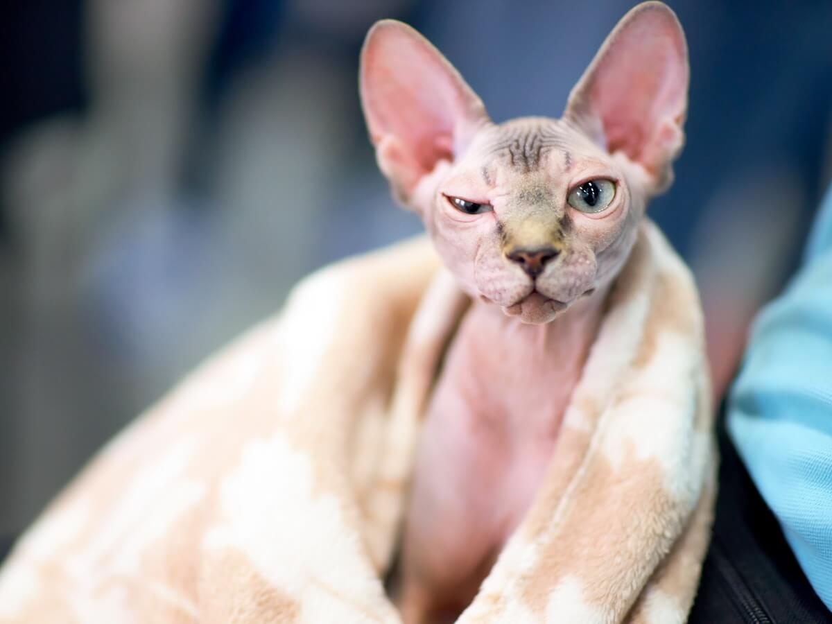 Donner un bain à un chat sphinx n'est pas facile.