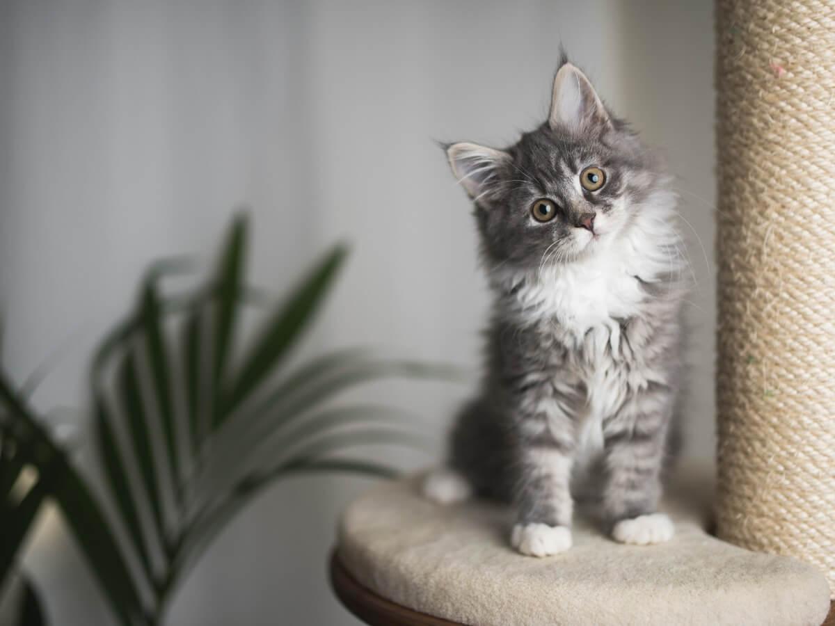 Un petit chat aux poils longs.