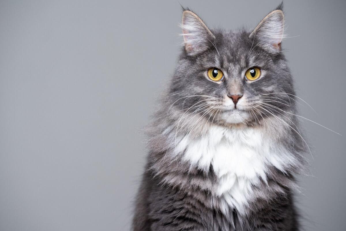 ¿Sabes cómo hacer que el pelo de tu gato crezca?