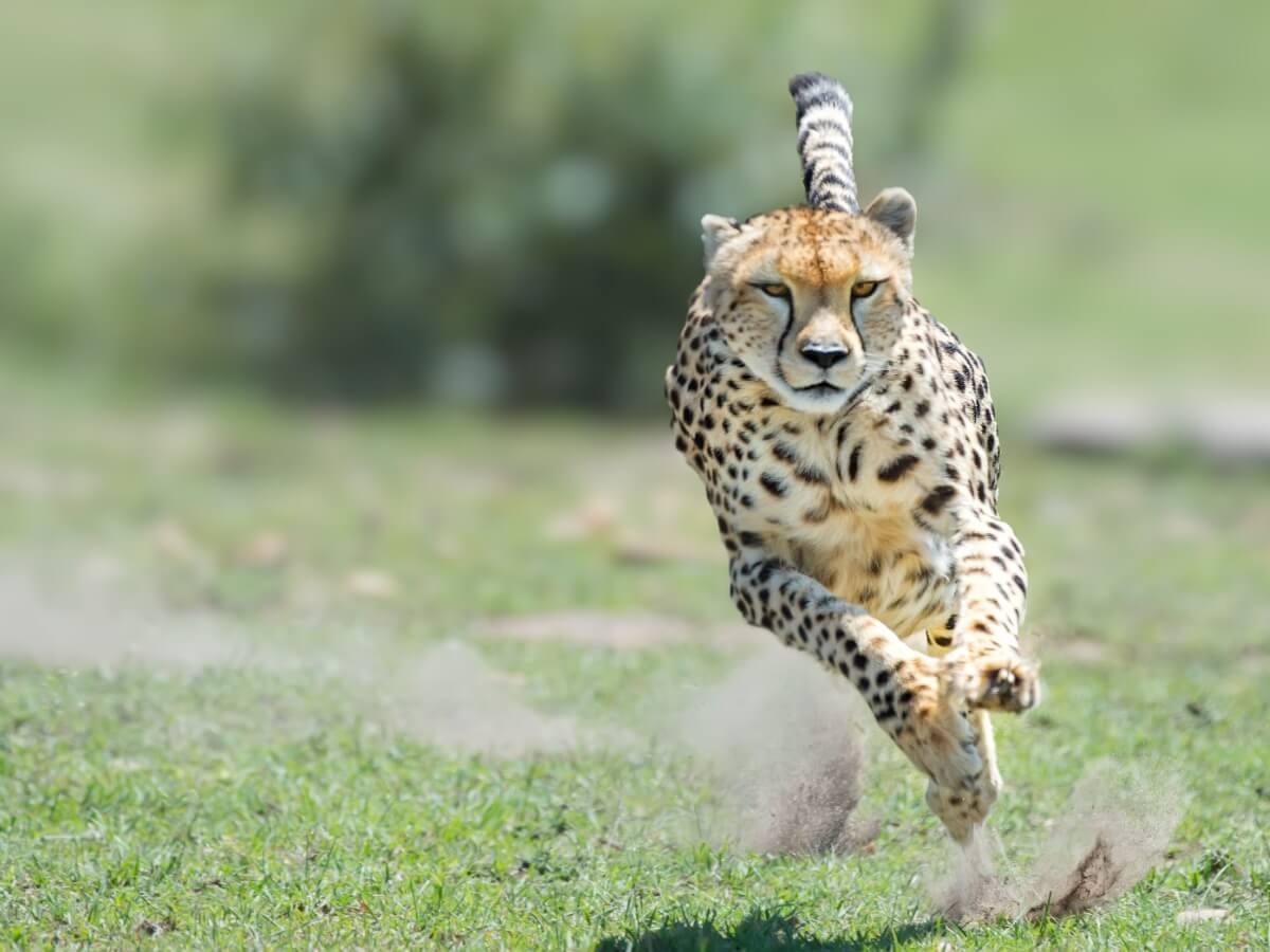 Le comportement du guépard est mortel.