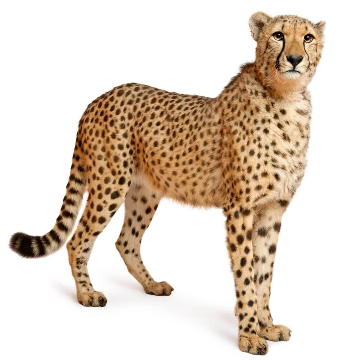 Un guépard sur fond blanc.
