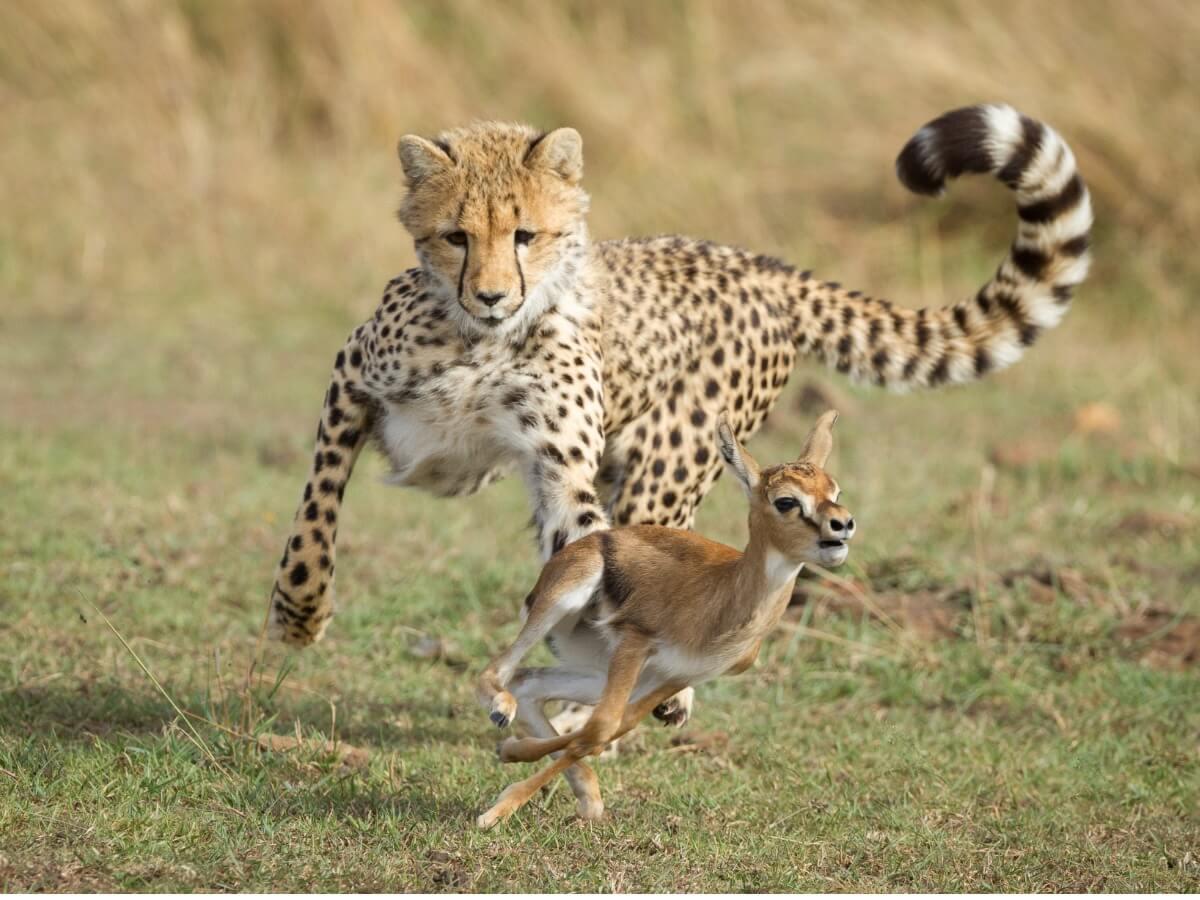 Un guépard poursuit sa proie.