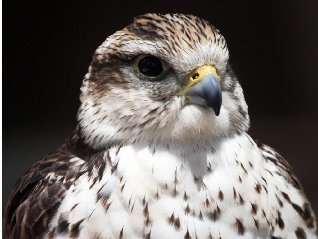 Uno de los pájaros domésticos que están en peligro de extinción.