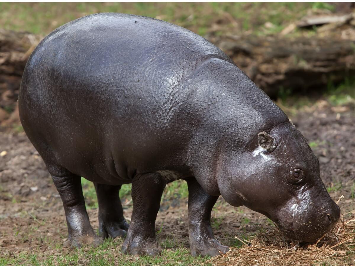 L'hippopotame nain fait partie des mammifères en voie de disparition.