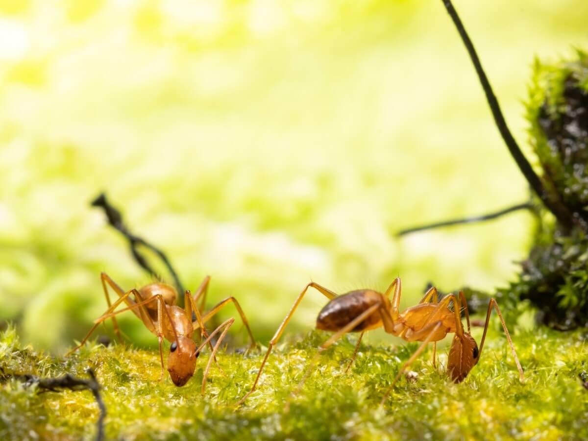 Una hormiga amarilla loca.