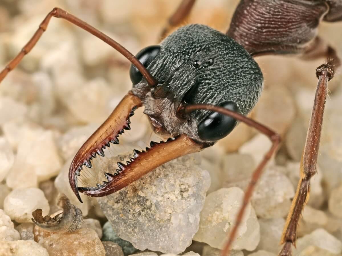 Una hormiga bulldog.