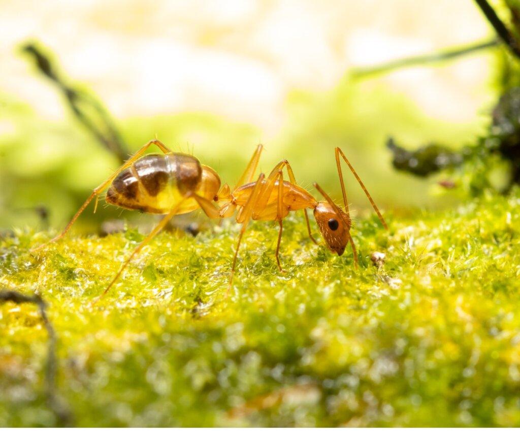 Hormiga loca: hábitat, características y potencial invasor