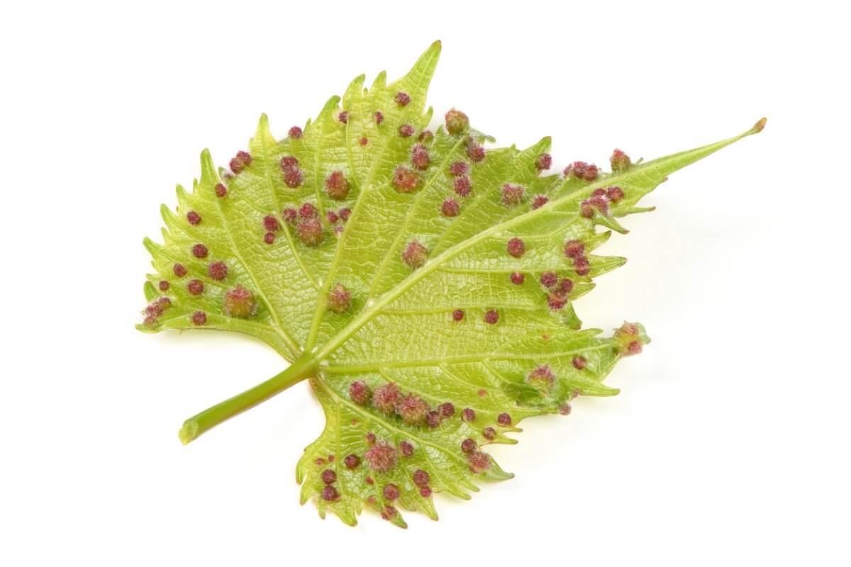 Alternance de générations : Insecte de la vigne à reproduction alternée.