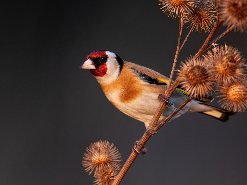 Los 10 pájaros que mejor cantan