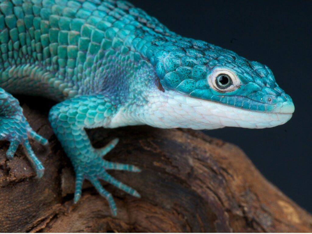 13 reptiles en peligro de extinción