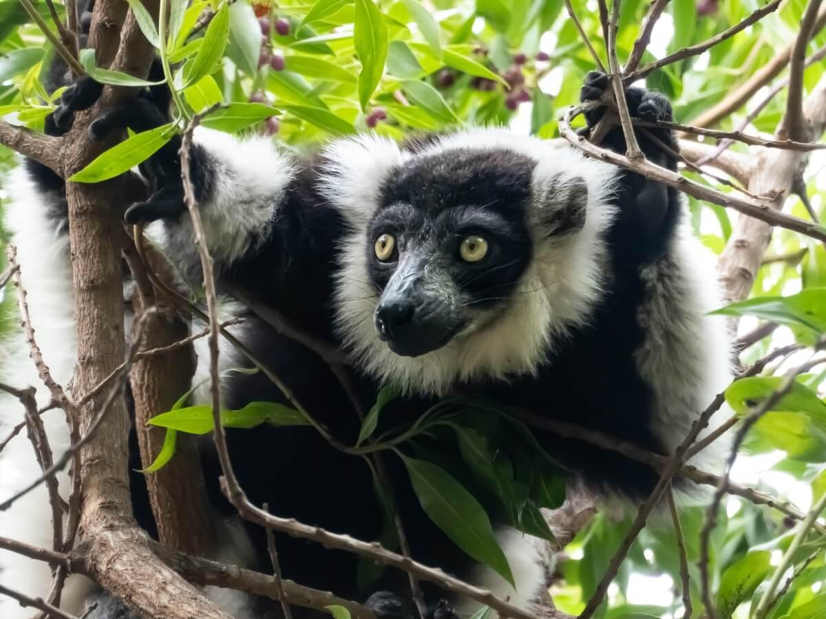 Ein Lemur, einer der 25 am stärksten bedrohten Primaten der Welt.