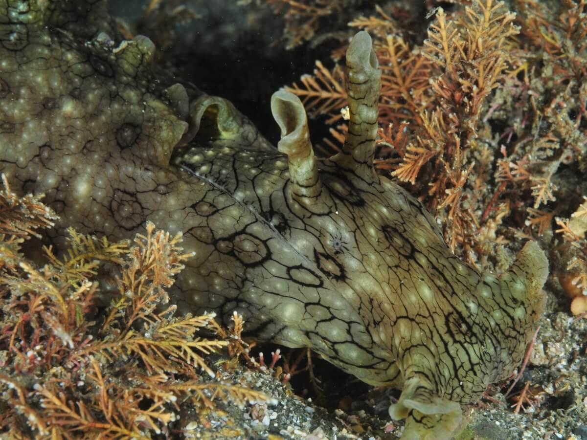 Un très gros lièvre de mer.