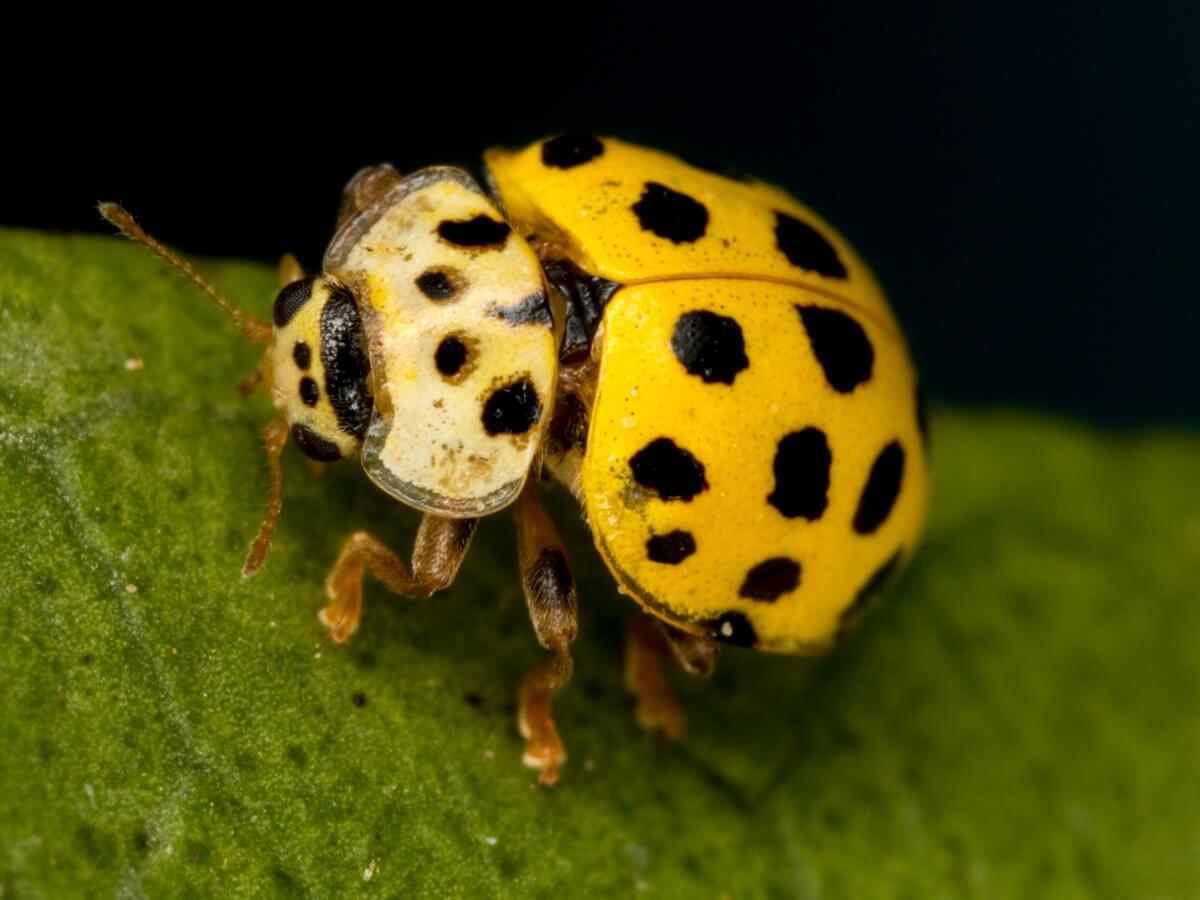 Nog een van de soorten lieveheersbeestjes