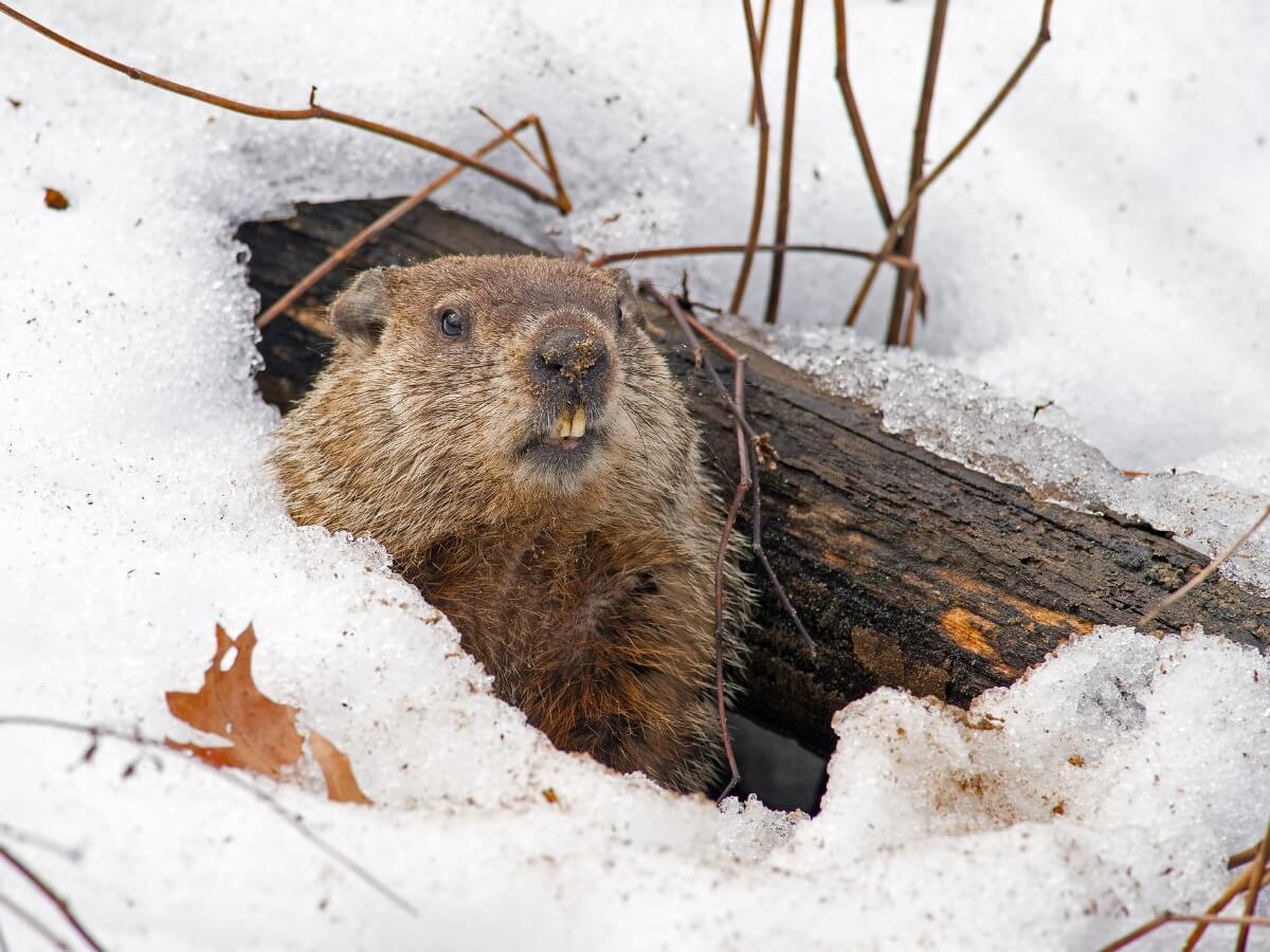 Una marmota sale de la nieve.