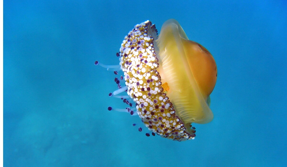 A fried egg jellyfish in the sea.