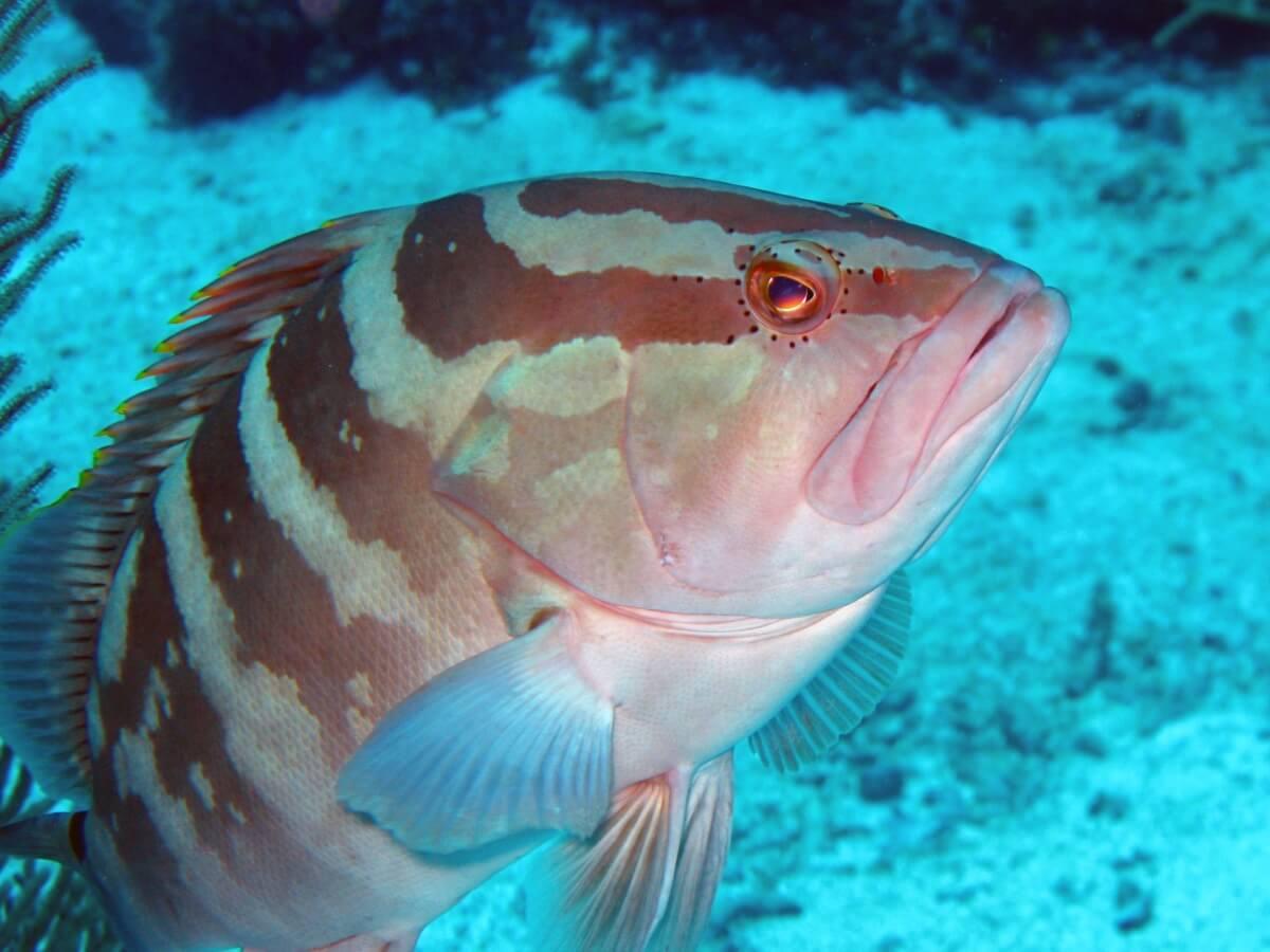 A striped grouper in the sea.