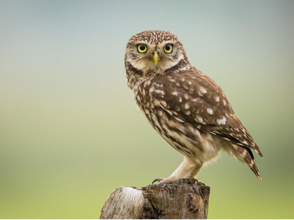 Mochuelo común: hábitat y características