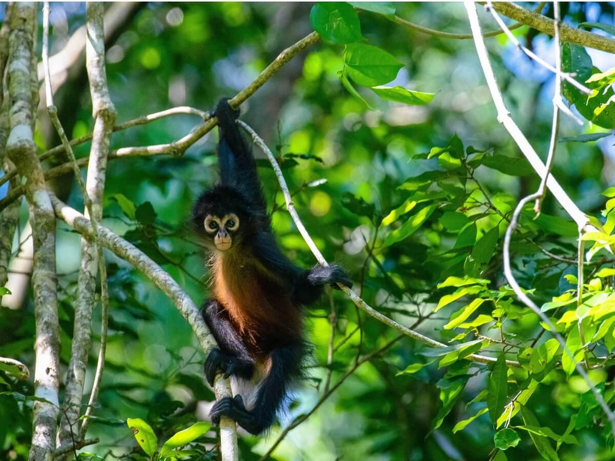 Vom Aussterben bedrohte Primaten - Ein Klammeraffe über den Bäumen