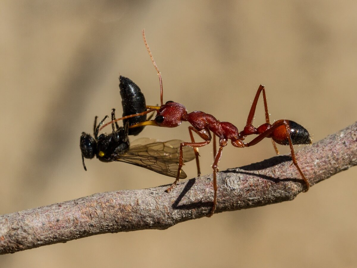 An ant of the genus Myrmecia eats a wasp.